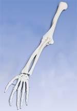 Immagine Prodotto Scheletro del braccio