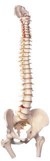Immagine Prodotto Colonna vertebrale con tronchi del femore