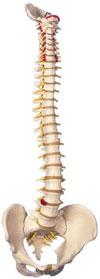 Immagine Prodotto Colonna vertebrale flessibile