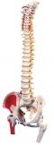 Immagine Prodotto Colonna vertebrale con tronchi di femore e illustrazione dei muscoli