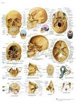 Immagine Prodotto Cranio
