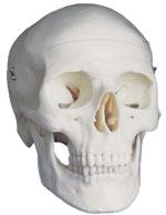 Immagine Prodotto Cranio bianco