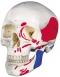 Immagine Prodotto Cranio classico dipinto