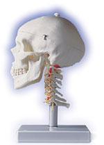 Immagine Prodotto Cranio con vertebre cervicali