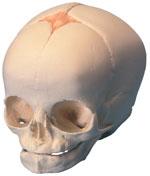 Immagine Prodotto Cranio di feto