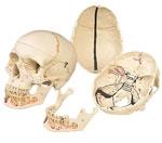 Immagine Prodotto Cranio con mandibola aperta.