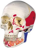 Immagine Prodotto Cranio con mandibola aperta dipinto