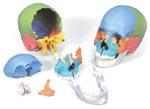 Immagine Prodotto Cranio scomponibile