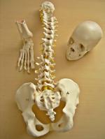 Cranio A290 (22 pz bianco), Colonna vertebrale flessibile A58/1, Piede A31/1R