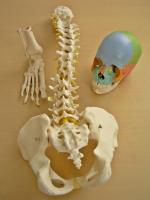 Cranio A291 (22 pz colorato), Colonna vertebrale flessibile A58/1, Piede A31/1R