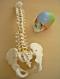 Cranio A291 (22 pz colorato), Colonna vertebrale flessibile A58/1