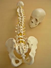 Cranio A290 (22 pz bianco), Colonna vertebrale flessibile A58/1