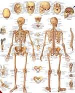 Immagine Prodotto Lo scheletro umano