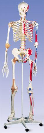 Immagine Prodotto Scheletro con legamenti articolari e inserzioni muscolari