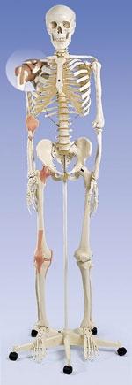 Immagine Prodotto Scheletro con legamenti articolari