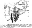 Incontinenza urinaria da sforzo: cosa può fare l'Osteopatia