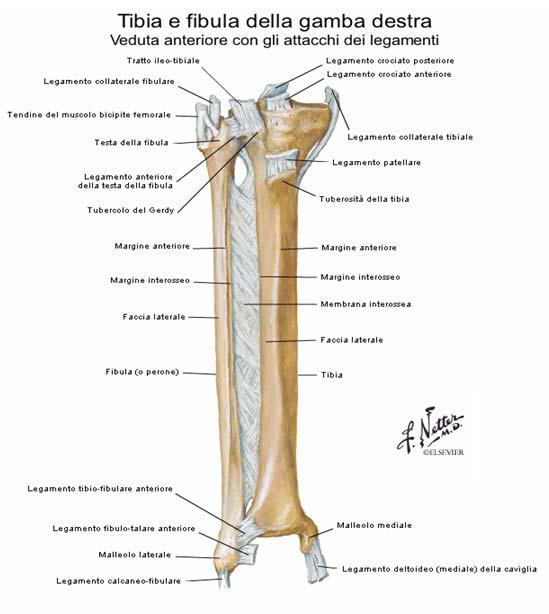 Tibia e fibula della gamba destra