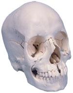 Immagine Prodotto Cranio scomponibile bianco