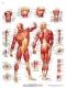 Immagine Prodotto La muscolatura umana